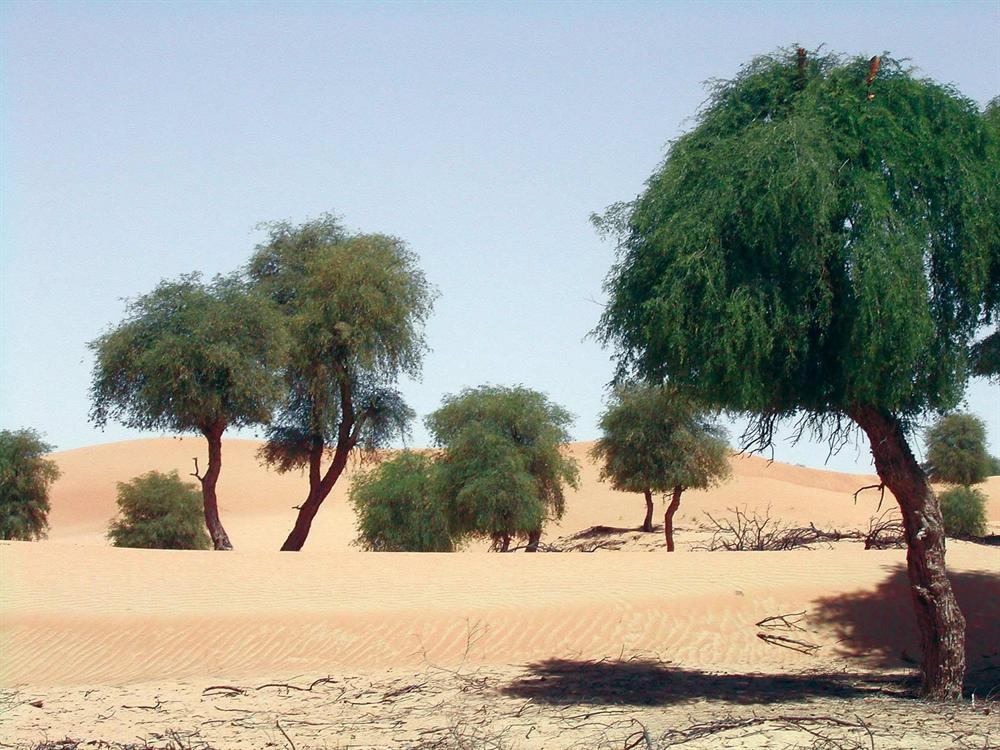 ghaf tree uae